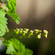 Macro of green currant twig — Stock Photo #28321985