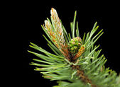 Macro di ramoscello di pino con cono — Foto Stock