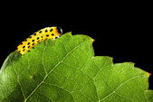 Yellow caterpillar eating green leaf — Stock Photo