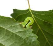 Macro of green inchworm on birch leaf — Stockfoto