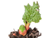 Bud and first leaf of rhubarb — Stock Photo