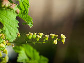 Macro of green currant twig — Stock Photo