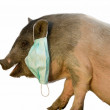 Постер, плакат: Gauze bandage on the swine as swine flu concept