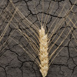 Stock Photo: Three wheat ears on dry soil
