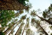 Pine kronendak — Stockfoto