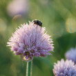 May beetle on onion flower — Stock Photo