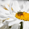 Bug feeds on flower — Stock Photo