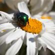 Cockchafer — Stock Photo