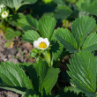 Garden strawberry bloom — Stock Photo
