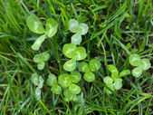 Trefoil (Trifolium) tussock — Stock Photo