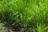 Grass tussocks at tillage — Stock Photo