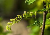 Unripe currant cluster — Stock Photo