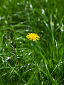 Blossom dandelion — Stock Photo