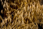 Macro of oat crop — Stock Photo