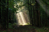 Early morning sun beams in woods — Stock Photo