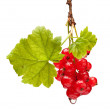 Branch of red currant — Stock Photo #35178459
