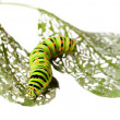 Caterpillar crawl across leaf — Stock Photo