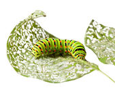 Caterpillar chewing a leaf — Stock Photo