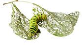 Analyse de Caterpillar à travers feuilles — Photo