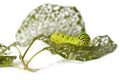 Caterpillar and chewed leaves — Stock Photo