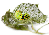 Caterpillar on perforated leaves — Foto Stock