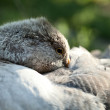 Sleeping goose — Stock Photo