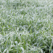 Frozen cereal field — Stock Photo