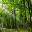 Sun beams in spring forest — Stock Photo