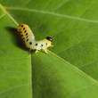 Yellow caterpillar  — Stock Photo