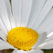 Blooming chamomile — Stock Photo