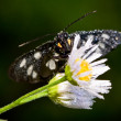 Butterfly on wild chamomile — Stock Photo #36107097
