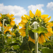 Sunflower backside — Stock Photo