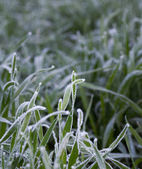 Cereal grass covered by rime — Stock Photo