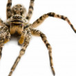 Stock Photo: Dangerous venomous spider