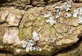 Macro of lichen on tree bark — Stock Photo