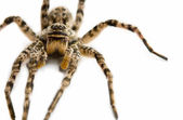Dangerous venomous spider — Stock Photo