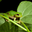Stock Photo: Little green tree frog climbing on leaf