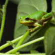 Stock Photo: European tree frog sitting on leaf