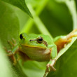 Stock Photo: Tree frog funny peek