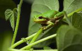 European tree frog sitting on leaf — Stockfoto