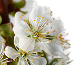 Cherry Blossoms and dew — Stock Photo