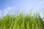 Spring grass against the blue sky — Stock Photo