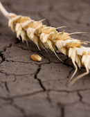 Wheat ear and one grain on wasteland — Stock Photo