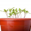 Green tomato seedlings growing in red pot — Stock Photo
