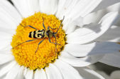 Long-horned beetle on flower — Stock Photo