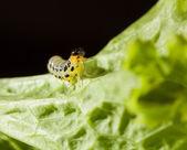 Caterpillar on lettuce — ストック写真