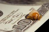 Bug larva bite through hundred dollar banknote, economic crisis — Stock Photo