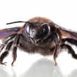 Постер, плакат: European carpenter bee Xylocopa violacea en face