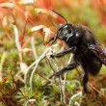 Постер, плакат: Black Carpenter Bee on moss