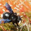 Постер, плакат: Violet carpenter bee